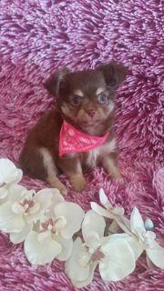 Mini Langhaar Chihuahua
