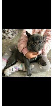 Französische Bulldoggen Bulldoge Welpen