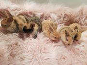 5 zuckersüße Zwergwidder Babys