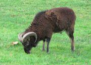 Soay Schafe