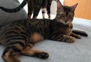Savannah F6 Katzen