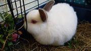 Zwerg Kaninchen, weiß,