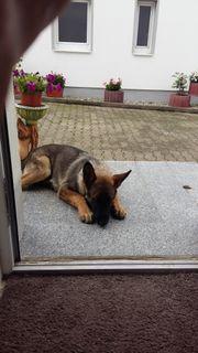 Deutsche Schäferhund Deckrüde