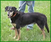 Cello 9 Jahre - Dobermann-Appenzeller-Mix - Tierhilfe