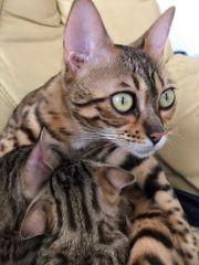 Katzenrasse Bengal Brau