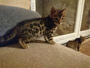 Bengal Kitten mit Stammbaum 3