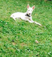 Husky Welpe mit