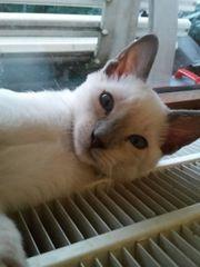 Thaikatzenkitten