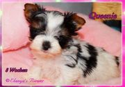 XS Micro Biewer Yorkshire Terrier