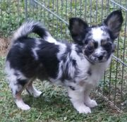 Chihuahuaprinzen suchen ab
