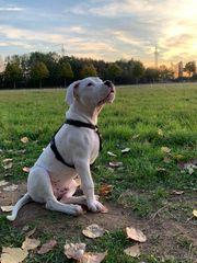 Dogo Argentino Welpe Rüde mit