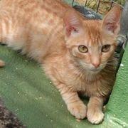 Rote Babykatzen Maine Coon mix