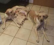 Labrador Welpen aus