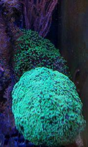Suche LPS Korallen Euphyllia Caulastrea