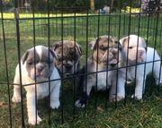 Französische Bulldoggen Welpen in Merle