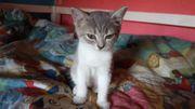 Perser Katze Baby Kitte