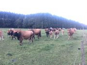 Murnau-Werdenfelser Mutterkühe