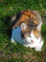 Dreifarbige Katze in 01833 Rennersdorf