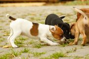 Jack Russell Terrier in Bicolor