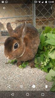 Zwergkaninchen Farbenzwerge Kaninchen