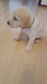 Labrador Welpe (Rüde )