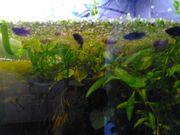 Kampffische, Betta Splendens