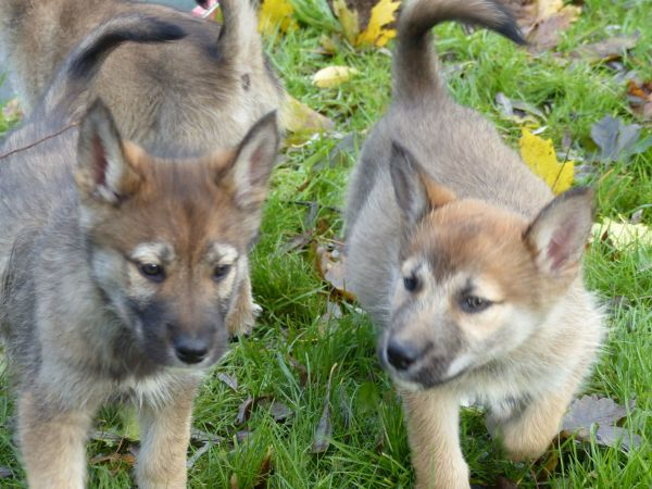tschechisch slowakischer wolfshund harzer fuchs malamute mix welpen in parchim hunde. Black Bedroom Furniture Sets. Home Design Ideas