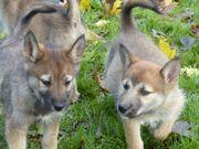 Tschechisch Slowakischer Wolfshund Harzer Fuchs