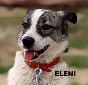 Hündin Eleni sucht ein Zuhause