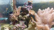 Meerwasser Riffsäule mit Korallen