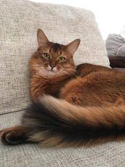 Wunderschöne Somali Katze (