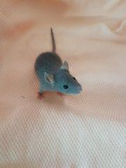 Ratten Farbratten Jungtiere Dumbos aus