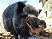 Mini Schwein, Bergsträsser