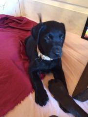 Labrador Welpen reinrassig.