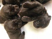 Labrador Welpen reinrassig mit Papieren
