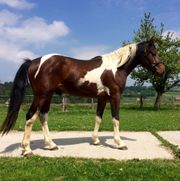 Curly Horse Hengst - 1A-Charakter