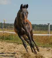 Quarter Horse Hengstabsetzer