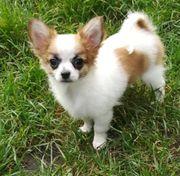 Rocky langhaar Chihuahua