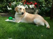 Labrador-Retriever Welpen