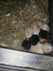 Junge Hamster zu verkaufen