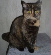 BKH Exotic Shorthair Mix