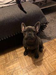 Französische Bulldog