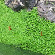 Biete verschiedene Aquariumpflanzensamen an