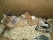 Leonberger - Bernersennen - Schäferhund