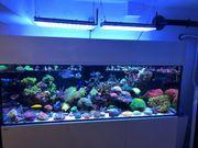 Korallen Ableger Acroporas,