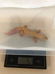 0 1 Patternless Leopardgecko