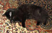 Schwarzes sibirisches Waldkatzen