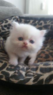 Reinrassige Perser Kätzchen