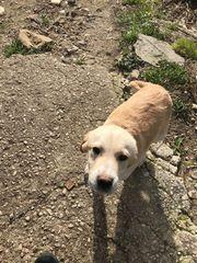 2 Labrador Mix Welpen Rüden