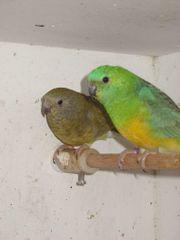Vögel Singsittiche